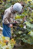 Muchacho que cosecha la uva Foto de archivo libre de regalías