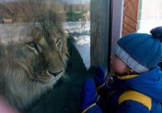 Muchacho que mira a través del vidrio el león en parque zoológico del invierno Fotografía de archivo