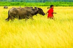 Muchacho rojo de la camisa que lleva un búfalo en granja del arroz Fotos de archivo libres de regalías