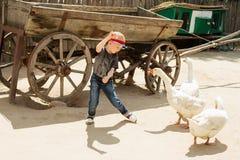 Muchacho urbano que juega y que se divierte con los gansos en una granja Fotografía de archivo