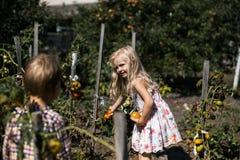 Muchacho y muchacha en el jardín, recolectando el tomate Fotografía de archivo libre de regalías