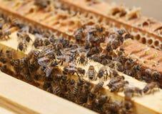 Muchas abejas comen los restos de la miel de los panales en la parte superior de la colmena Foto de archivo