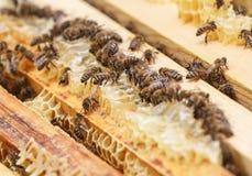 Muchas abejas comen los restos de la miel de los panales en una colmena Fotos de archivo