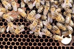 Muchas abejas de la miel están trabajando Fotografía de archivo