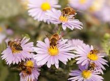 Muchas abejas de la miel que beben el néctar de las flores púrpuras Fotografía de archivo