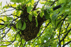 Muchas abejas en árbol Imagen de archivo libre de regalías