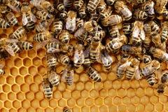 Muchas abejas en una célula de la miel Fotos de archivo libres de regalías
