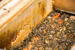 Muchas abejas en una colmena abierta Imagen de archivo