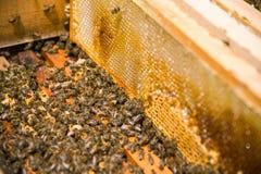 Muchas abejas en una colmena abierta Foto de archivo libre de regalías