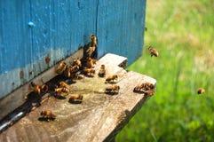 Muchas abejas que entran en una colmena Imagenes de archivo