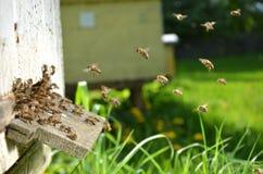Muchas abejas que entran en una colmena Imagen de archivo libre de regalías