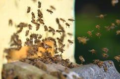 Muchas abejas que entran en una colmena Fotografía de archivo