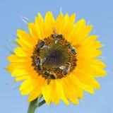 Muchas abejas que recogen el néctar en un girasol contra el cielo Fotos de archivo
