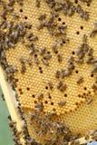 Muchas abejas que se arrastran en los panales sellados Fotografía de archivo