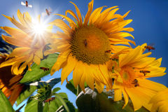 Muchas abejas que vuelan alrededor de los girasoles Imágenes de archivo libres de regalías