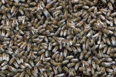 Muchas abejas se sientan en el panal con el primer de la miel Imagen de archivo