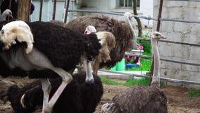 Muchas avestruces caminan en el corral metrajes