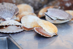 Muchas cáscaras de concha de peregrino que mienten cerca de fregadero Imagen de archivo