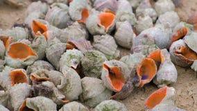 Muchas c?scaras hermosas de rapan en la arena en la opini?n del primer de la costa del Mar Negro metrajes