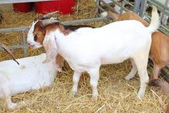 Muchas cabras blancas están en la granja Foto de archivo
