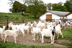 Muchas cabras en la granja Foto de archivo libre de regalías