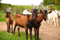 Muchas cabras en la granja Imagenes de archivo