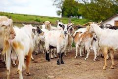 Muchas cabras en la granja Imágenes de archivo libres de regalías