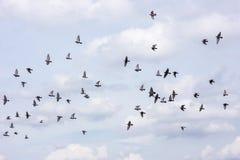 Muchas de palomas que vuelan el fondo del cielo Imagen de archivo