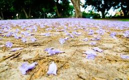 Muchas floraciones de las flores del jacaranda caidas abajo en la tierra imagen de archivo