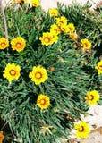 Muchas flores amarillas Fotografering för Bildbyråer