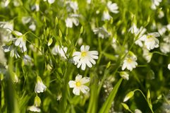 Muchas flores blancas en un claro del bosque Fotografía de archivo