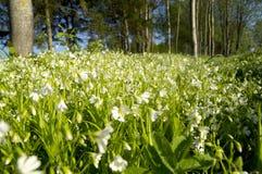 Muchas flores blancas en un claro del bosque Imagen de archivo