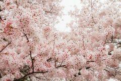 Muchas flores de cerezo rosadas hermosas fotografía de archivo