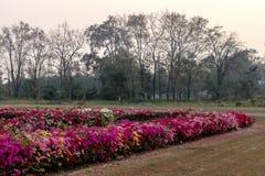 Muchas flores de la buganvilla en el jardín árido fotografía de archivo