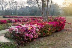 Muchas flores de la buganvilla en el jardín árido fotografía de archivo libre de regalías
