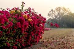 Muchas flores de la buganvilla en el jardín árido imágenes de archivo libres de regalías