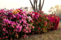Muchas flores de la buganvilla en el jardín árido fotos de archivo