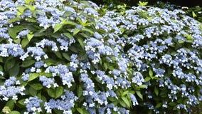 Muchas flores de la hortensia Imágenes de archivo libres de regalías