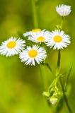 Muchas flores de la manzanilla en campo ancho Fotos de archivo libres de regalías