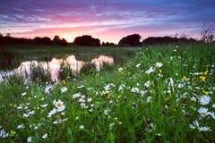 Muchas flores de la manzanilla por el lago en la puesta del sol Foto de archivo libre de regalías