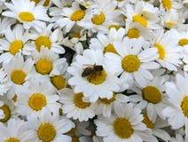 Muchas flores de la margarita y una abeja en una margarita Imagen de archivo libre de regalías