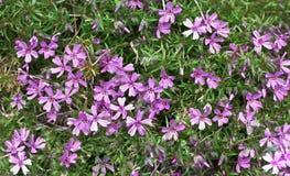 Muchas flores de la púrpura con follaje verde Fotografía de archivo