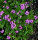 Muchas flores de la púrpura con follaje verde Imagen de archivo