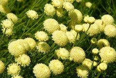 Muchas flores del amarillo. Imágenes de archivo libres de regalías