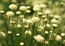 Muchas flores del amarillo Fotografía de archivo libre de regalías