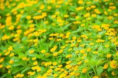 Muchas flores del amarillo Foto de archivo libre de regalías