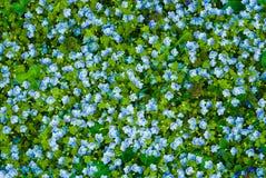 Muchas flores del azul Imagen de archivo libre de regalías