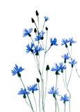 Muchas flores del azul en el fondo blanco Fotos de archivo libres de regalías