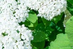 Muchas flores hermosas con los pétalos blancos algunas uvas Foto de archivo libre de regalías