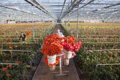 Muchas flores rojas y anaranjadas en invernadero holandés Fotos de archivo